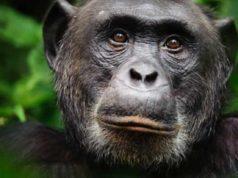 Cimpanzeu în sălbăticie